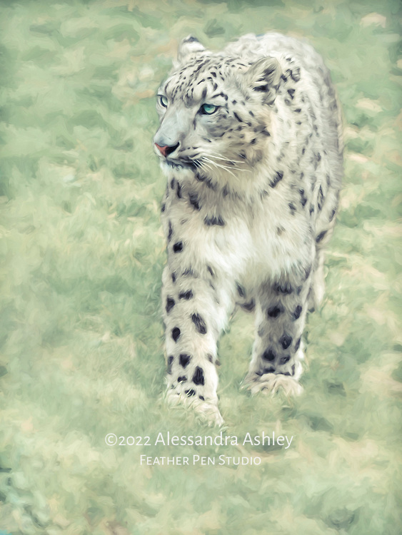 Snow leopard, currently listed as endangered.  Photographed in naturalistic habitat.  Painted effects blended with original photograph.