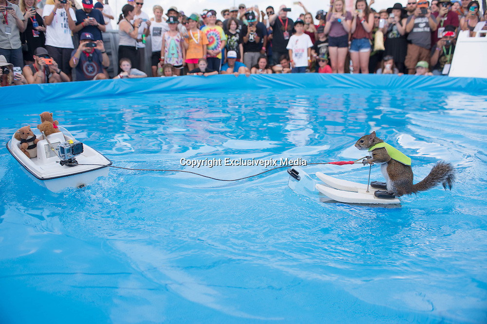 Twiggy the water-skiing squirrel <br /> <br /> TWIGGY The water-skiing squirrel entertains a packed crowd of fans during a performance at the 2015 X Games, Circuit Of The Americas-Austin, TX <br /> &copy;Exclusivepix Media