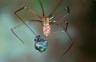 DEU, Deutschland: Spinnen, Große Zitterspinne (Pholcus phalangioides) Weibchen, spinnt eine noch lebende Fliege ein als Futtervorrat, Silhouette, Cuxhaven, Niedersachsen | DEU, Germany: Spiders, Daddy long-legs spider (Pholcus phalangioides) female wrapped a still alive fly, feed reserve, silhouette, Cuxhaven, Lower Saxony |