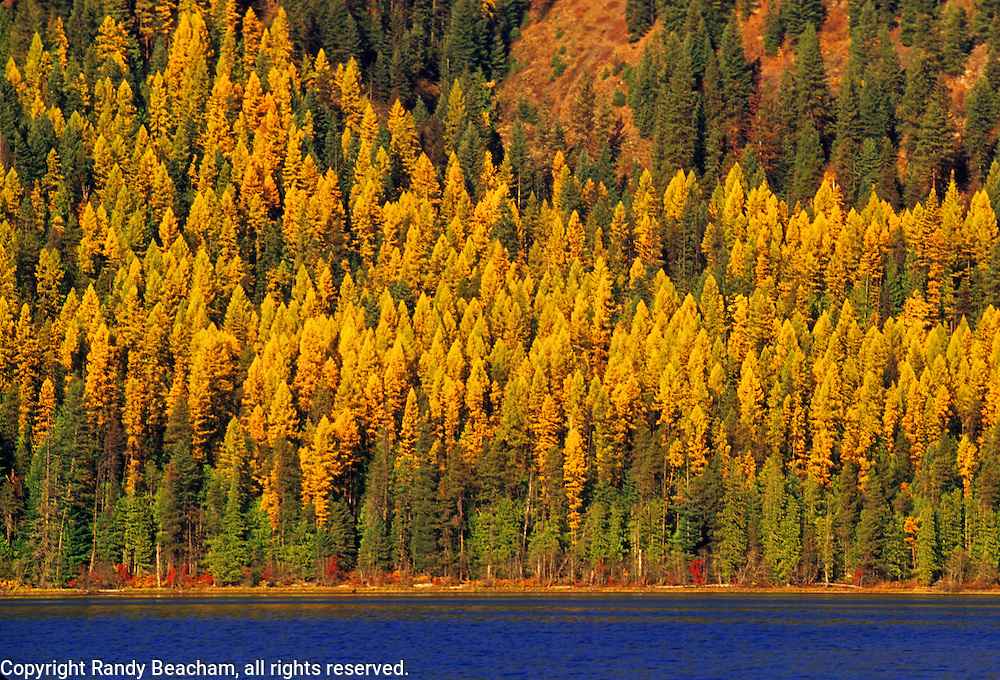 Western Larch along Bull Lake in fall. Bull River Valley, Montana