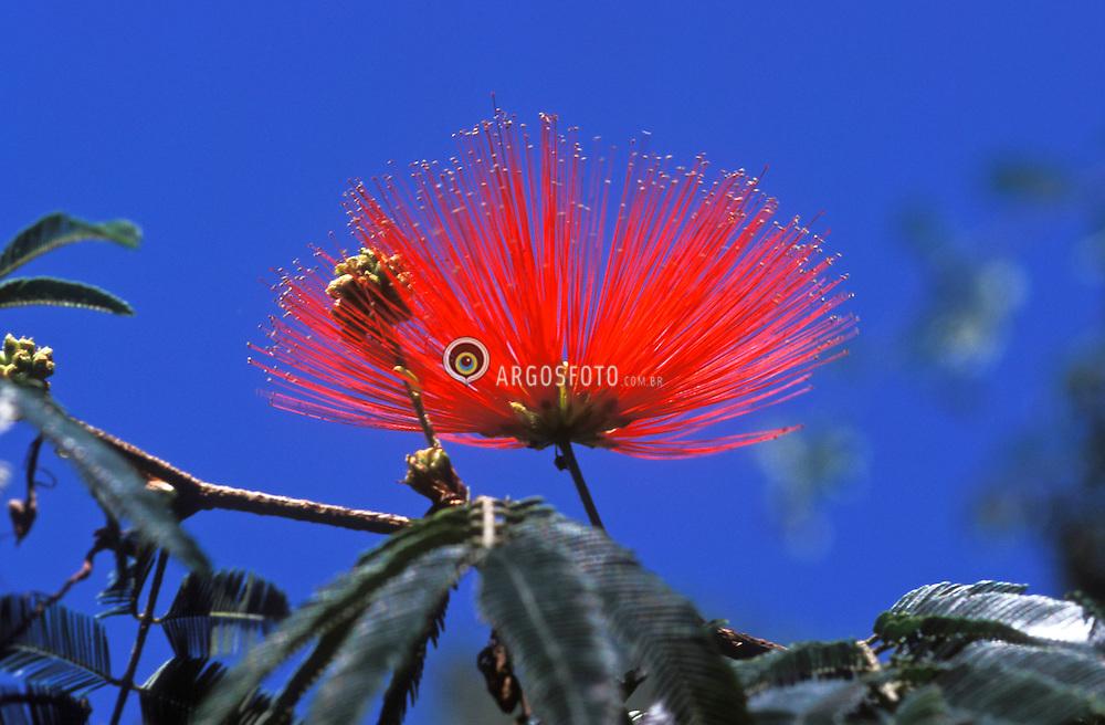 Flor Anjiquinho / Flower