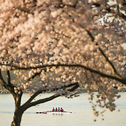 Rowers train in the morning on a calm Potomac, seen through a covering of cherry blossom trees in full bloom.