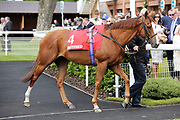 EL ASTRONAUTE (4) entering the Parade Ring before winning The Betfred Supports Jack Berry House Handicap Stakes over 5f (£30,000) at the York Dante Meeting at York Racecourse, York, United Kingdom on 17 May 2018. Picture by Mick Atkins.