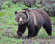 A grizzly bear who has become to be known as Blondy who roams Grand Teton National Park