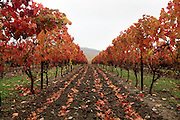 row of vines during autumn in the Aude Languedoc France