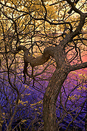 Infrared image of tree at Hanging Rock State Park processed in faux color