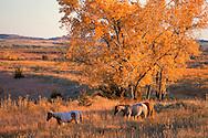 Horses with fall colors near Medicine Lodge, Kansas, USA
