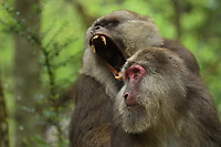 Male and female tibetan Macaque, Macaca thibetana, in Tangjiahe Nature Reserve, Sichuan Province; China