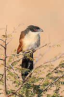 Burchells Coucal, Satara, Kruger National Park, South Africa