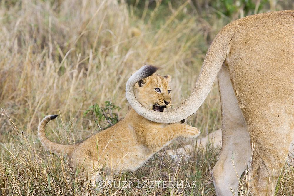 Lion<br /> Panthera leo<br /> 6-7  week old cub chasing its mother's tail<br /> Masai Mara Reserve, Kenya