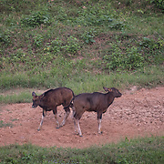 The gaur (Bos gaurus), also called Indian bison, is the largest extant bovine, native to the Indian Subcontinent and Southeast Asia. <br />