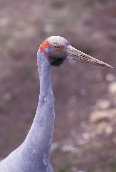 Brolga, (Grus rubicundus) Australia.