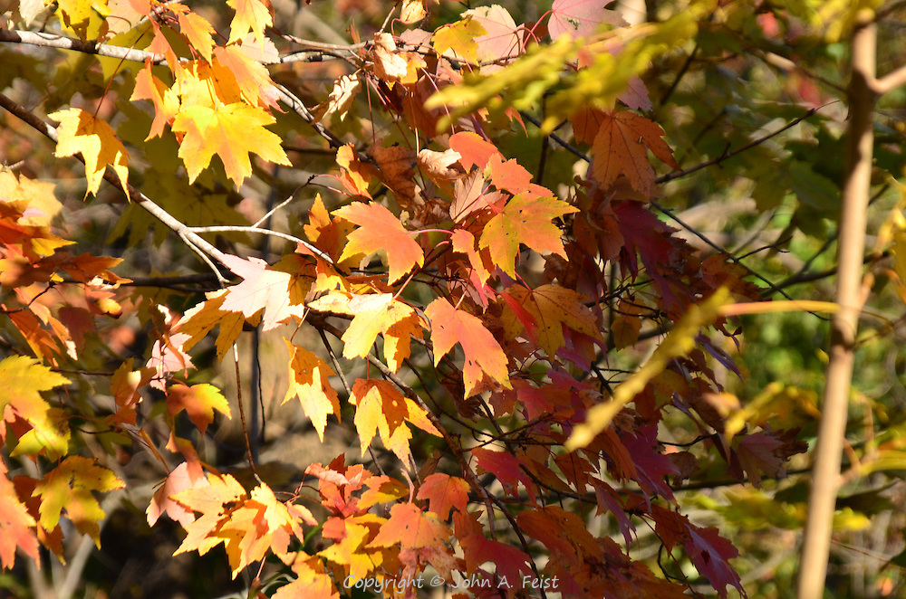Many colors shining on this maple tree in the afternoon sun.  Hillsborough, NJ