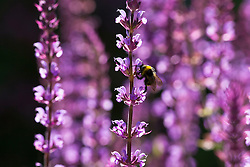 Salvia nemorosa 'Amethyst' AGM (Balkan clary) with bee