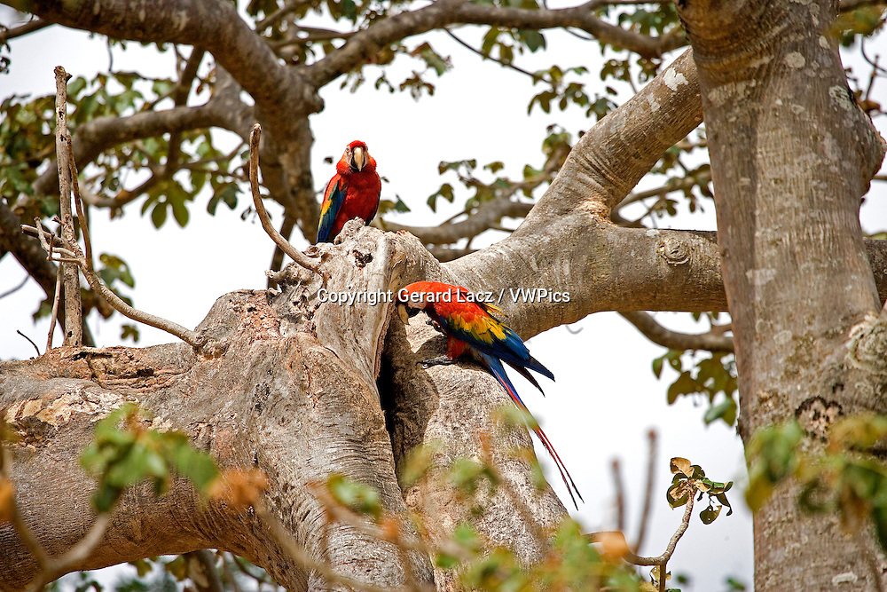 SCARLET MACAW ara macao, PAIR STANDING AT NEST ENTRANCE, LOS LIANOS IN VENEZUELA