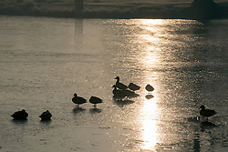 © Licensed to London News Pictures. 23/01/2015. Richmond, UK. Ducks on a frozen pond.  A cold frosty morning in Richmond Park, Surrey today 23rd January 2015. The UK is experiencing some very cold weather. Photo credit : Stephen Simpson/LNP