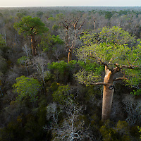 Morning sun illuminates emergent baobab trees (Adansonia rubrostipa) in Madagascar's dry deciduous forest, one of the island's most endangered habitats. Despite receiving no rain for up to nine months each year, these forests are home to an astonishing diversity of wildlife, including Madam Berthe's Mouse Lemur, the world's smallest primate. Sadly, due to logging and land clearing, these forests have been reduced to less than 3% of their original extent, and now remain in only a few reserves along the western coast.