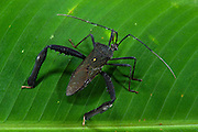 Leaf-footed Bug (Coreidae)(Hemiptera)<br /> Yasuni National Park, Amazon Rainforest<br /> ECUADOR. South America