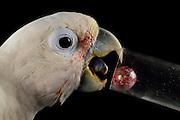 [captive] Goffin's cockatoo (Cacatua goffiniana). In this experiment, the cockatoo learns to use a tool. It needs to use a small ball to remove a treat (peanut) from a box. Goffin's cockatoos or Tanimbar Corellas are endemic to the Tanimbar archipelago in Indonesia. Research on their cognitive abilities is done in the Goffin Lab (Lower Austria) by Dr. Alice M. I. Auersperg. Sequence 6/8. | Goffinkakadu (Cacatua goffiniana). In diesem Versuch muss der Goffinkakadu erlernen, mit einer Kugel eine Belohnung (Erdnuss) heraus zu kegeln, um sie zum Rausfallen aus einer ansonsten unzugänglichen Box zu bringen. Der Kakadu lernt hierbei den Werkzeuggebrauch. Der Goffinkakadu ist eine Papageienart und kommt in freier Wildbahn ausschließlich auf der indonesischen Inselgruppe Tanimbar vor. Forschung zu kognitiven Fähigkeiten des Goffinkakadus wird im Goffin Lab (Niederösterreich) von Dr. Alice M. I. Auersperg durchgeführt. Sequenz 6/8.
