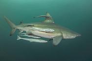 The blacktip shark (Carcharhinus limbatus) belongs to the family of Carcharhinidae. He is present in three big oceans and in the Mediterranean Sea. He can live 12 years for a maximum size of 2,80m. One distinguish them by blackpoint on the pectoral, dorsal, pelvic fins and the caudal fin. The body is grey with reflections bronze and the white stomach. Shark viviparous animal (birth of the young already formed sharks), females can carry about ten youngs every two years.<br /> The blacktip shark is endangered by its intensive, commercial and sports peach. He is classified &quot;almost threatened&quot; by the UICN Red List.<br /> <br /> Le requin bord&eacute; (Carcharhinus limbatus) appartient &agrave; la famille des Carcharhinidae. Il est pr&eacute;sent dans les trois grands oc&eacute;ans et en M&eacute;diterran&eacute;e. Il peut vivre 12 ans pour une taille maximum de 2,80m. On les distinguent par des pointes noires sur les nageoires pectorales, dorsales, pelviennes et caudale. Le corps est gris aux reflets bronze et le ventre blanc. Requin vivipare (naissance des jeunes requins d&eacute;j&agrave; form&eacute;s), les femelles peuvent porter une dizaine de petits tous les deux ans.<br /> Le requin bord&eacute; est mis en danger par sa p&ecirc;che intensive, commerciale et sportive. Il est class&eacute; &laquo;Quasi menac&eacute; &raquo; par la liste rouge de l&rsquo; UICN.