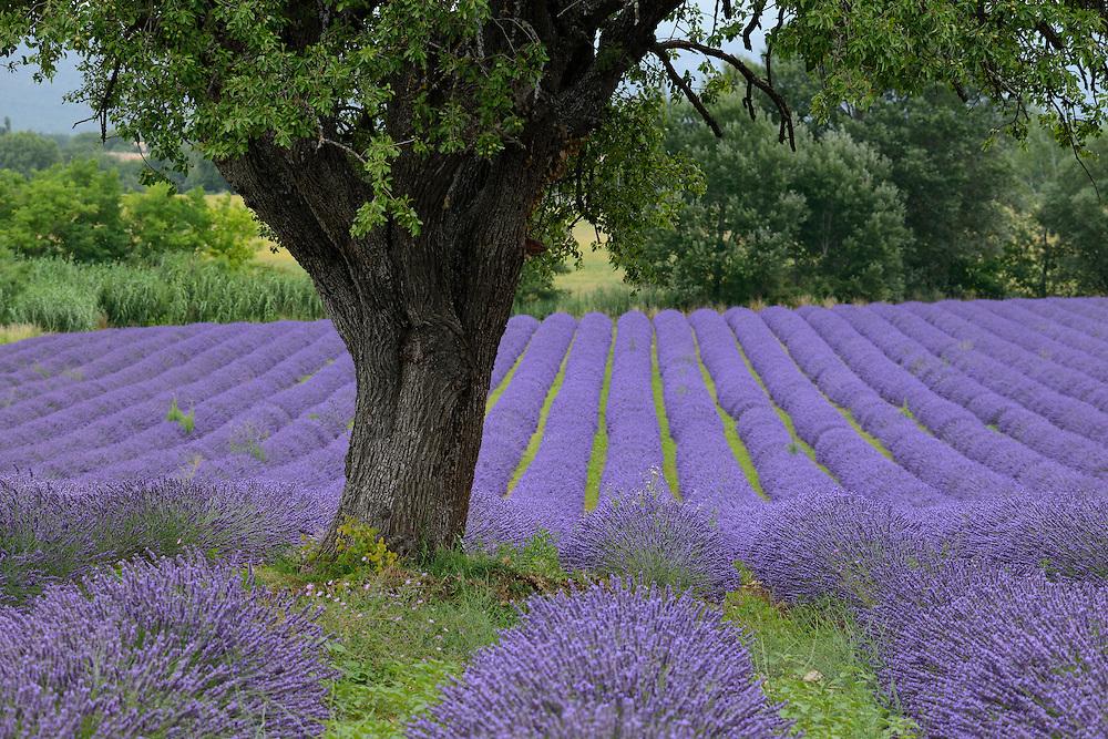 Lavender Field near Roussillion,Provence-Alpes-Côte d'Azur,Provence France, Europe