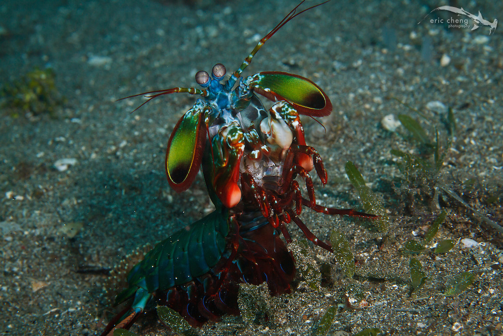 A peacock mantis shrimp (Odontodactylus scyllarus) poses for my camera. Sizzler, Wai Verang, Lembata, Indonesia.