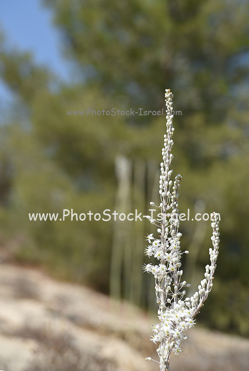 blooming Sea Squill, (Drimia maritima) Photographed in Palestine, Mount Hebron,September