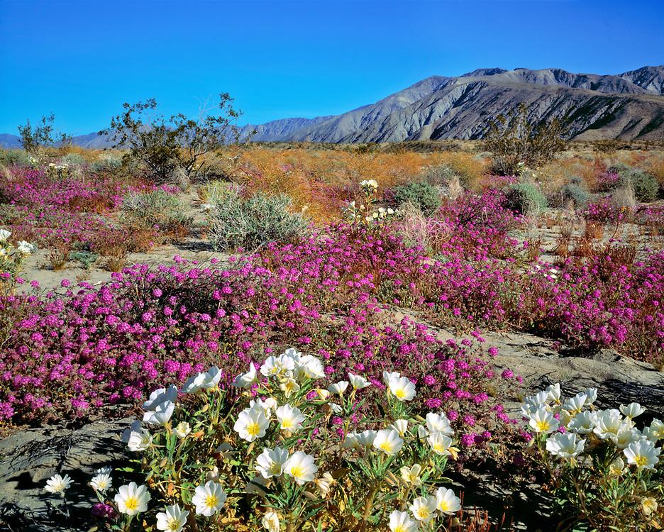 Dune evening primrose and sand verbena create a stunning bouquet in Anza-Borrego Desert State Park, California.