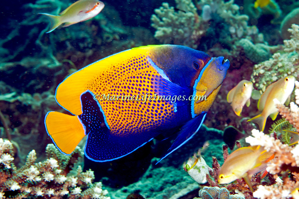 Blue Girdle Anglefish inhabit reefs. Picture taken Lembeh Straits, Sulawesi, Indonesia.
