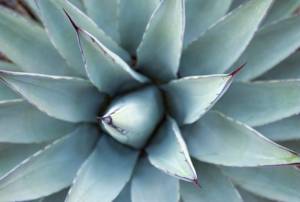 Century Plant also known as Agave Arizona USA&amp;#xA;<br />