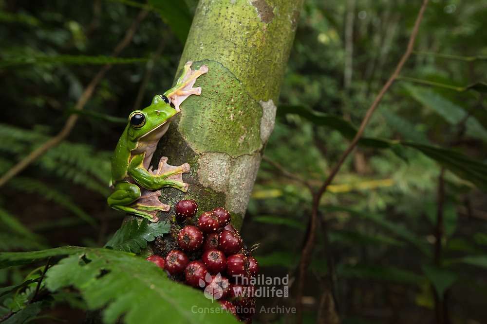 Giant Flying Frog (Rhacophorus maximus) in Kaeng Krachan national park, Thailand