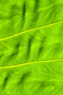 MOLOKAI, HI - Close up of a Taro leaf on Molokai, Hawaii.  Taro is a tropical plant grown primarily as a food.  It is a traditional staple in many tropical areas of the world and is the base for making poi (a Polynesian staple food) in Hawaii.