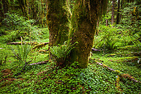 A moss covered tree trunk in the Quinault Rainforest, Olympic National Park, Washington, USA.