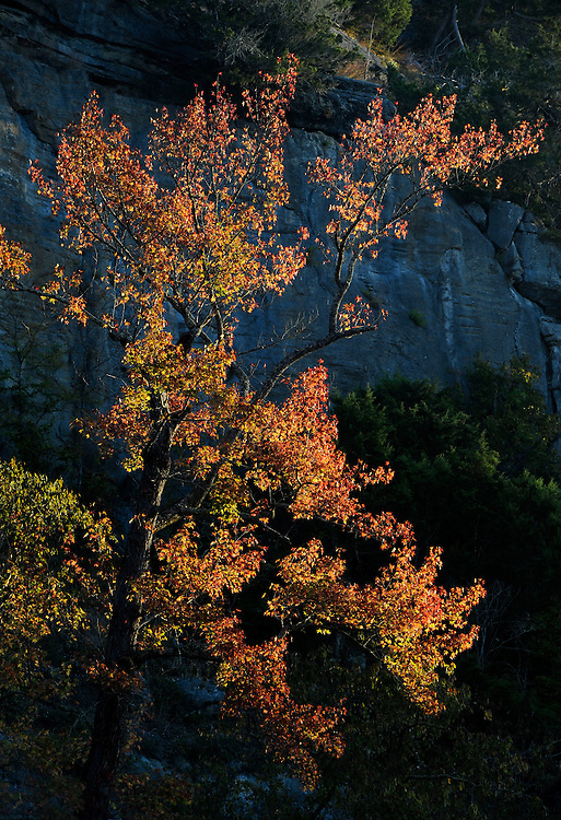 Sweetgum and morning light, Buffalo National River, Arkansas.