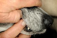 """Hands of the Austrian Bibi Degn, massaging the gums of her dog. Bibi Degn is a TTouch Practitioner. TTouch, named after Linda Tellington-Jones, which began 35 years ago for the first time this method on horses. The Tellington Touch method tries to balance animals with special touches physically, mentally and spiritually. Bibi Degn is founder of TT.E.A.M. Guild and trains TTouch Practitioner. When asked whether she loves animals, she replies: """"I like souls gladly"""". Neunkirchen, Germany / Haende der Oesterreicherin Bibi Degn;  massiert das Zahnfleisch ihres Hundes. Bibi Degn ist ein TTouch-Practitioner. TTouch, benannt nach Linda Tellington Jones, die erstmals vor 35 Jahren diese Methode bei Pferden einsetzte. Bei der Tellington Touch Methode wird versucht, Tiere durch spezielle Beruehrungen koerperlich, geistig und seelisch ins Gleichgewicht zu bringen. Bibi Degn ist Gruenderin der TT.E.A.M.-Gilde und bildet TTouch-Practitioner aus. Auf die Frage, ob sie tierlieb sein, antwortet sie: """"ich mag Seelen gern"""". Neunkirchen, Deutschland"""