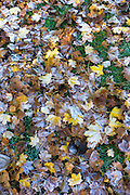 Frosty sycamore leaves on forest floor in autumn including in United Kingdom