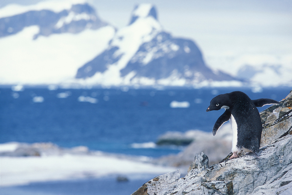 Antarctica, Petermann Island, Adélie Penguin (Pygoscelis adeliae) walking on steep rock slope