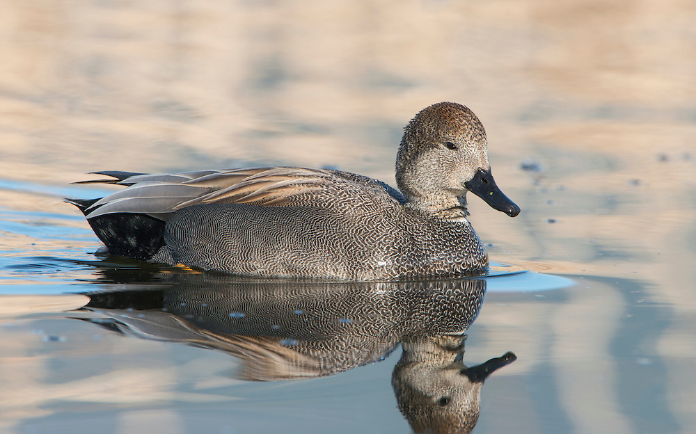 A male Gadwall (Anas strepera), Bitterroot Valley, Montana