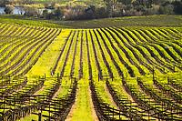 Artesa Vineyards Winter Mustard Bloom / Los Carneros AVA, Napa, California
