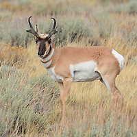 A Pronghorn deer buck