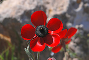 Israel, Negev, Borot Lotz, Lotz cisterns,  blooming Ranunculus asiaticus, Turban Buttercup, in the nature preserve April 2007