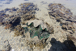 A giant clam (Tridacna species) lies underwater on a shallow reef at the northern end of Augustus Island in Camden Sound on the Kimberley coast.