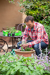 Planting up a summer container with bedding plants including petunia, diascia and Helichrysum petiolare.