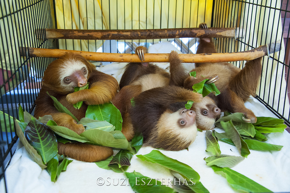 Hoffmann's Two-toed Sloth <br /> Choloepus hoffmanni<br /> Orphaned baby sloths eating almond tree leaves<br /> Aviarios Sloth Sanctuary, Costa Rica<br /> *Rescued and in rehabilitation program
