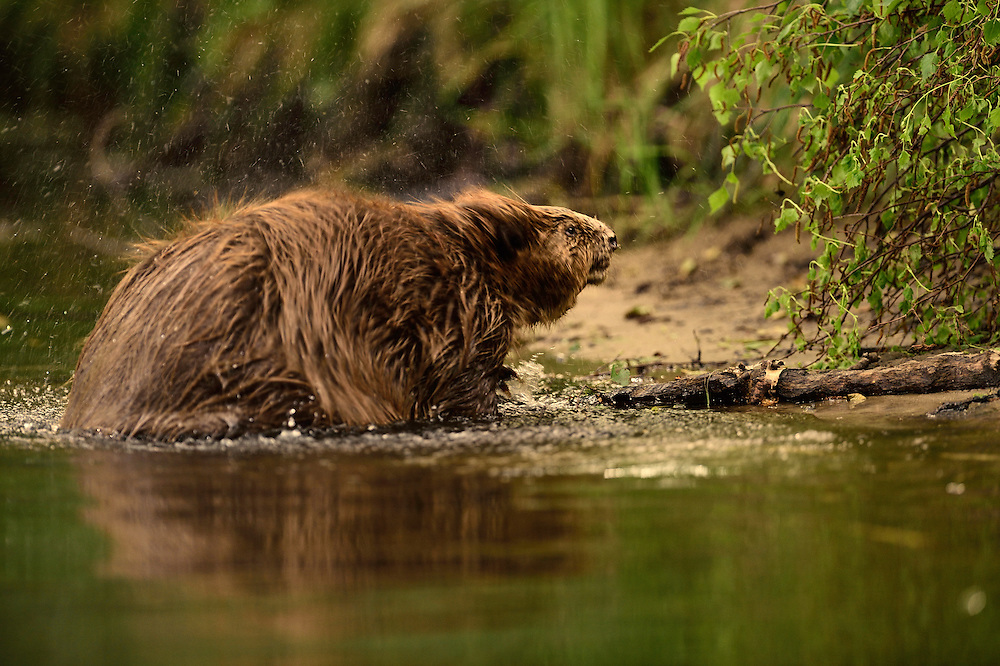 Beaver (Castor fiber) in the Peene valley, Peene river, Anklam, Germany