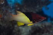 Bodianus mesothorax (Splitlevel Hogfish)