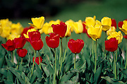 THIS PHOTO IS AVAILABLE FOR WEB DOWNLOAD ONLY. PLEASE CONTACT US FOR A LARGER PHOTO. Idaho. Vibrant red and yellow tulips in bloom.