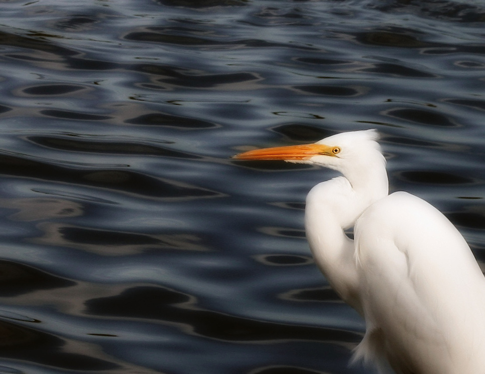 A Great Egret scanes the water for his next meal, Boca Grande, Florida.