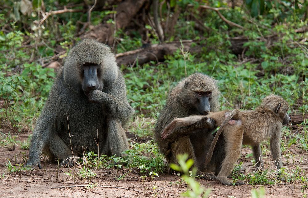 Delousing Baboon - Tumbili