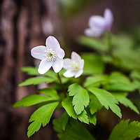 Wood Anemone (Anemone quinquefolia).<br />